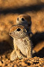 /images/133/2019-05-13-gv-creatures-viv1-5d4_3300v.jpg - #14673: Baby Round Tailed Ground Squirrel in Green Valley … May 2019 -- Green Valley, Arizona