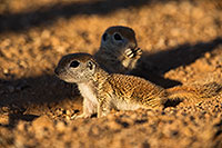 /images/133/2019-05-13-gv-creatures-viv1-5d4_3336.jpg - #14674: Baby Round Tailed Ground Squirrel in Green Valley … May 2019 -- Green Valley, Arizona