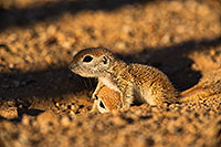 /images/133/2019-05-13-gv-creatures-viv1-5d4_3365.jpg - #14675: Baby Round Tailed Ground Squirrel in Green Valley … May 2019 -- Green Valley, Arizona