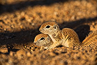 /images/133/2019-05-13-gv-creatures-viv1-5d4_3368.jpg - #14676: Baby Round Tailed Ground Squirrels in Green Valley … May 2019 -- Green Valley, Arizona