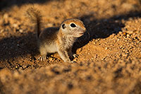 /images/133/2019-05-13-gv-creatures-viv1-5d4_3399.jpg - #14677: Baby Round Tailed Ground Squirrel in Green Valley … May 2019 -- Green Valley, Arizona