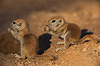 /images/133/2019-05-13-gv-creatures-viv1-61-5d4_2149.jpg - #14678: Baby Round Tailed Ground Squirrels in Green Valley … May 2019 -- Green Valley, Arizona