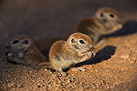 /images/133/2019-05-13-gv-creatures-viv1-76-5d4_2793.jpg - #14679: Baby Round Tailed Ground Squirrels in Green Valley … May 2019 -- Green Valley, Arizona