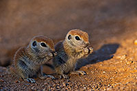 /images/133/2019-05-13-gv-creatures-viv1mi1-8-5d4_2949.jpg - #14680: Baby Round Tailed Ground Squirrels in Green Valley … May 2019 -- Green Valley, Arizona