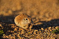 /images/133/2019-05-14-gv-creatures-ton1-5d4_4819.jpg - #14683: Baby Round Tailed Ground Squirrel in Green Valley … May 2019 -- Green Valley, Arizona