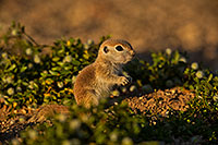 /images/133/2019-05-14-gv-creatures-ton1-5d4_4977.jpg - #14684: Baby Round Tailed Ground Squirrel in Green Valley … May 2019 -- Green Valley, Arizona