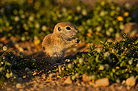 /images/133/2019-05-14-gv-creatures-ton1-5d4_5072.jpg - #14685: Baby Round Tailed Ground Squirrel in Green Valley … May 2019 -- Green Valley, Arizona