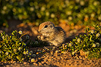 /images/133/2019-05-14-gv-creatures-ton1-5d4_5142.jpg - #14686: Baby Round Tailed Ground Squirrel in Green Valley … May 2019 -- Green Valley, Arizona