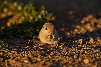 /images/133/2019-05-14-gv-creatures-ton1-5d4_5150.jpg - #14687: Baby Round Tailed Ground Squirrel in Green Valley … May 2019 -- Green Valley, Arizona