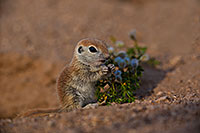 /images/133/2019-05-14-gv-creatures-viv1-5d4_3769.jpg - #14688: Baby Round Tailed Ground Squirrel in Green Valley … May 2019 -- Green Valley, Arizona