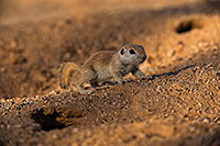 /images/133/2019-05-14-gv-creatures-viv1-5d4_4001.jpg - #14689: Baby Round Tailed Ground Squirrel in Green Valley … May 2019 -- Green Valley, Arizona