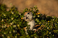 /images/133/2019-05-14-gv-creatures-viv1-5d4_4349.jpg - #14690: Baby Round Tailed Ground Squirrel in Green Valley … May 2019 -- Green Valley, Arizona