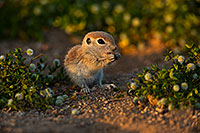 /images/133/2019-05-14-gv-creatures-viv1-5d4_5448.jpg - #14691: Baby Round Tailed Ground Squirrel in Green Valley … May 2019 -- Green Valley, Arizona