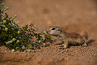 /images/133/2019-05-15-gv-creatures-viv1-5d4_5508.jpg - #14693: Baby Round Tailed Ground Squirrel in Green Valley … May 2019 -- Green Valley, Arizona