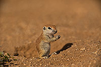 /images/133/2019-05-15-gv-creatures-viv1-5d4_5544.jpg - #14694: Baby Round Tailed Ground Squirrel in Green Valley … May 2019 -- Green Valley, Arizona
