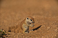 /images/133/2019-05-15-gv-creatures-viv1-5d4_5545.jpg - #14695: Baby Round Tailed Ground Squirrel in Green Valley … May 2019 -- Green Valley, Arizona