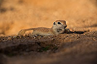 /images/133/2019-05-15-gv-creatures-viv1-5d4_5689.jpg - #14696: Baby Round Tailed Ground Squirrel in Green Valley … May 2019 -- Green Valley, Arizona