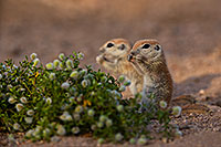 /images/133/2019-05-15-gv-creatures-viv1-5d4_5893.jpg - #14697: Baby Round Tailed Ground Squirrel in Green Valley … May 2019 -- Green Valley, Arizona