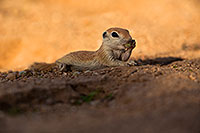 /images/133/2019-05-15-gv-creatures-viv1-85-5d4_5678.jpg - #14698: Baby Round Tailed Ground Squirrel in Green Valley … May 2019 -- Green Valley, Arizona
