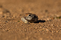 /images/133/2019-05-16-gv-creatures-viv1-5d4_6253.jpg - #14699: Baby Round Tailed Ground Squirrel in Green Valley … May 2019 -- Green Valley, Arizona