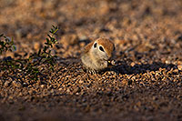 /images/133/2019-05-17-gv-creatures-viv1-5d4_7450.jpg - #14700: Baby Round Tailed Ground Squirrel in Green Valley … May 2019 -- Green Valley, Arizona