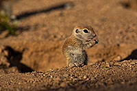 /images/133/2019-05-17-gv-creatures-viv1-5d4_7517.jpg - #14701: Baby Round Tailed Ground Squirrel in Green Valley … May 2019 -- Green Valley, Arizona