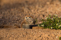 /images/133/2019-05-17-gv-creatures-viv1-5d4_7574.jpg - #14702: Baby Round Tailed Ground Squirrel in Green Valley … May 2019 -- Green Valley, Arizona