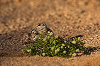 /images/133/2019-05-17-gv-creatures-viv1-5d4_7638.jpg - #14703: Baby Round Tailed Ground Squirrel in Green Valley … May 2019 -- Green Valley, Arizona