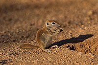 /images/133/2019-05-17-gv-creatures-viv1-5d4_7705.jpg - #14704: Baby Round Tailed Ground Squirrel in Green Valley … May 2019 -- Green Valley, Arizona