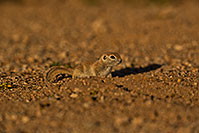 /images/133/2019-05-21-gv-creatures-ton1-5d4_9915.jpg - #14706: Baby Round Tailed Ground Squirrel in Green Valley … May 2019 -- Green Valley, Arizona