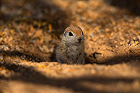 /images/133/2019-05-21-gv-creatures-viv1-5d4_9275.jpg - #14707: Baby Round Tailed Ground Squirrel in Green Valley … May 2019 -- Green Valley, Arizona