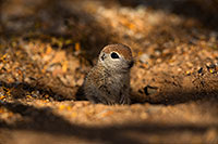 /images/133/2019-05-21-gv-creatures-viv1-5d4_9297.jpg - #14708: Baby Round Tailed Ground Squirrel in Green Valley … May 2019 -- Green Valley, Arizona