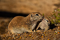 /images/133/2019-05-21-gv-creatures-viv1-5d4_9457.jpg - #14710: Baby Round Tailed Ground Squirrel in Green Valley … May 2019 -- Green Valley, Arizona