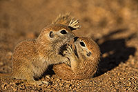 /images/133/2019-05-21-gv-creatures-viv1-5d4_9634.jpg - #14711: Baby Round Tailed Ground Squirrel in Green Valley … May 2019 -- Green Valley, Arizona