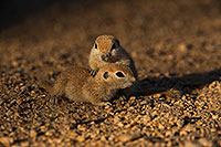 /images/133/2019-05-21-gv-creatures-viv1-5d4_9824.jpg - #14712: Baby Round Tailed Ground Squirrel in Green Valley … May 2019 -- Green Valley, Arizona