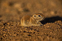 /images/133/2019-05-21-gv-creatures-viv1-5d4_9875.jpg - #14713: Baby Round Tailed Ground Squirrel in Green Valley … May 2019 -- Green Valley, Arizona