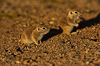 /images/133/2019-05-21-gv-creatures-viv1-5d4_9932.jpg - #14714: Baby Round Tailed Ground Squirrel in Green Valley … May 2019 -- Green Valley, Arizona