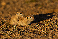 /images/133/2019-05-21-gv-creatures-viv1-5d4_9963.jpg - #14715: Baby Round Tailed Ground Squirrel in Green Valley … May 2019 -- Green Valley, Arizona