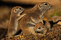 /images/133/2019-05-21-gv-creatures-viv1-70-5d4_9472.jpg - #14716: Baby Round Tailed Ground Squirrel in Green Valley … May 2019 -- Green Valley, Arizona