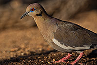 /images/133/2019-05-25-gv-dove-ton1-5d4_12685.jpg - #14717: White Winged Dove (male) in Green Valley … May 2019 -- Green Valley, Arizona