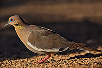 /images/133/2019-05-25-gv-dove-ton1-5d4_12705.jpg - #14718: White Winged Dove (male) in Green Valley … May 2019 -- Green Valley, Arizona