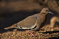 /images/133/2019-05-25-gv-dove-ton1-5d4_12730.jpg - #14719: White Winged Dove (male) in Green Valley … May 2019 -- Green Valley, Arizona