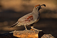 /images/133/2019-05-25-gv-quail-ton1-5d4_12761.jpg - #14720: Gambels Quail in Green Valley … May 2019 -- Green Valley, Arizona