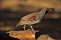 /images/133/2019-05-25-gv-quail-ton1-5d4_12763.jpg - #14721: Gambels Quail in Green Valley … May 2019 -- Green Valley, Arizona