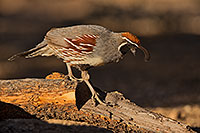 /images/133/2019-05-25-gv-quail-ton1-5d4_12766.jpg - #14722: Gambels Quail in Green Valley … May 2019 -- Green Valley, Arizona
