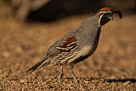 /images/133/2019-05-25-gv-quail-ton1-5d4_12777.jpg - #14723: Gambels Quail in Green Valley … May 2019 -- Green Valley, Arizona
