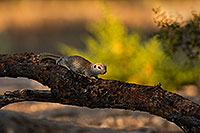 /images/133/2019-06-05-gv-creatures-mi1-a7r3_15273.jpg - #14726: Baby Round Tailed Ground Squirrel in Green Valley … June 2019 -- Green Valley, Arizona