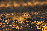 /images/133/2019-06-05-gv-creatures-viv1-a7r3_15309.jpg - #14727: Baby Round Tailed Ground Squirrel in Green Valley … June 2019 -- Green Valley, Arizona