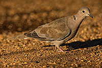 /images/133/2019-06-05-gv-dove-viv1-a7r3_5167.jpg - #14702: Eurasian Collared Dove in Green Valley … June 2019 -- Green Valley, Arizona