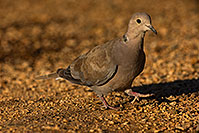 /images/133/2019-06-05-gv-dove-viv1-a7r3_5172.jpg - #14703: Eurasian Collared Dove in Green Valley … June 2019 -- Green Valley, Arizona
